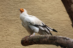 Egyptian vulture (Neophron percnopterus). Royalty Free Stock Photo