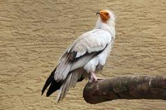 Egyptian vulture (Neophron percnopterus). Egyptian vulture (Neophron percnopterus), also known as the white scavenger vulture. Wild life animal Stock Image