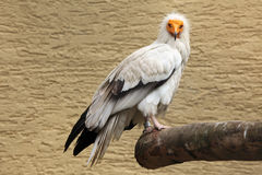 Egyptian vulture (Neophron percnopterus). Stock Images