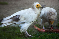 Egyptian vulture (Neophron percnopterus). Royalty Free Stock Photography