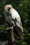 Egyptian vulture (Neophron percnopterus). Stock Photo