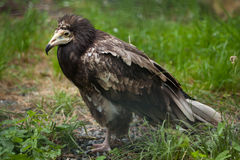 Egyptian vulture (Neophron percnopterus). Stock Image