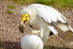 Egyptian vulture Neophron percnopterus bird of prey, breaks a stock photography