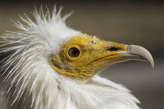 Egyptian vulture Neophron percnopterus head in profile Stock Images