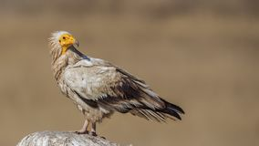 Egyptian Vulture on Top of Rock. Egyptian Vulture, Neophron percnopterus, is perching on top of rock looking back stock image