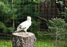 Egyptian vulture. (Neophron Percnopterus) in Prague zoo Royalty Free Stock Images
