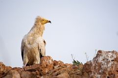 Egyptian Vulture Neophron percnopterus, scavenger bird standing on the ground. Egyptian Vulture Neophron percnopterus, scavenger bird royalty free stock photography