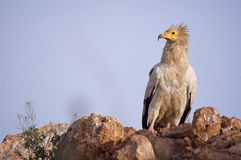Egyptian Vulture Neophron percnopterus, scavenger bird. Standing on the ground stock image