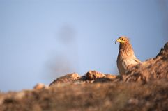Egyptian Vulture Neophron percnopterus, scavenger bird. Standing on the ground stock photography