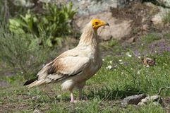 Egyptian Vulture Neophron percnopterus, scavenger. Bird standing on the ground royalty free stock images