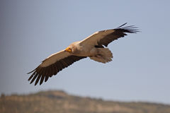 Egyptian vulture, Neophron percnopterus. Single bird in flight, Spain, July 2016 Royalty Free Stock Image