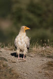 Egyptian vulture, Neophron percnopterus Royalty Free Stock Image