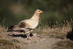 Egyptian vulture, Neophron percnopterus Royalty Free Stock Images