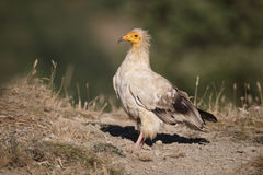 Egyptian vulture, Neophron percnopterus Stock Images