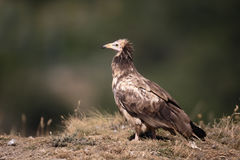Egyptian vulture, Neophron percnopterus Stock Image
