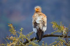 Egyptian vulture (Neophron Percnopterus) sits on the branch of the tree, Socotra, Yemen Stock Photography