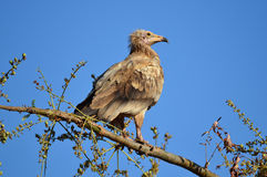 Egyptian vulture (Neophron Percnopterus) sits on the branch of the tree, Socotra, Yemen Royalty Free Stock Photos