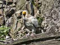 Egyptian vulture, Neophron percnopterus, is a smaller crayfish bird. The Egyptian vulture, Neophron percnopterus, is a smaller crayfish bird Royalty Free Stock Photography