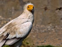 Egyptian vulture, Neophron percnopterus, is a smaller crayfish bird. The Egyptian vulture, Neophron percnopterus, is a smaller crayfish bird Royalty Free Stock Photos