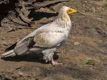 Egyptian vulture, Neophron percnopterus, is a smaller crayfish bird. The Egyptian vulture, Neophron percnopterus, is a smaller crayfish bird Stock Photo