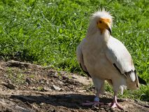 Egyptian vulture, Neophron percnopterus, is a smaller crayfish bird. The Egyptian vulture, Neophron percnopterus, is a smaller crayfish bird Royalty Free Stock Image