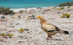 Egyptian Vulture. (Neophron percnopterus), Socotra island Royalty Free Stock Image