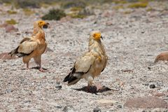 Egyptian Vulture. (Neophron percnopterus), Socotra island Royalty Free Stock Photos