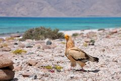 Egyptian Vulture. (Neophron percnopterus), Socotra island Stock Images