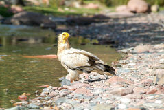 Egyptian Vulture Neophron percnopterus on Socotra island Royalty Free Stock Photography