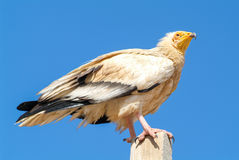 Egyptian Vulture Neophron percnopterus on Socotra island Royalty Free Stock Images