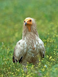 Egyptian vulture (Neophron percnopterus) Stock Image