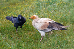 Egyptian vulture (Neophron percnopterus) Royalty Free Stock Images