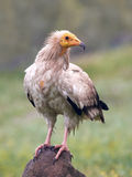Egyptian vulture (Neophron percnopterus) Stock Images
