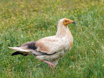 Egyptian vulture (Neophron percnopterus) Royalty Free Stock Photography