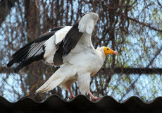 Egyptian Vulture (Neophron Percnopterus) in a zoo Stock Photography