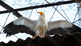 Egyptian Vulture (Neophron Percnopterus) in a zoo Royalty Free Stock Images