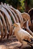 Egyptian vulture Neophron perscnopterus Stock Photos