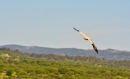 Egyptian vulture with outstretched wings. Royalty Free Stock Photography