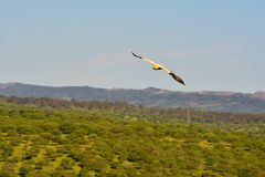 Egyptian vulture with outstretched wings. Royalty Free Stock Photos