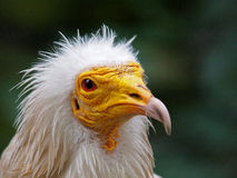 Egyptian Vulture Royalty Free Stock Images