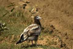 Egyptian vulture, Rajasthan, India Stock Photography