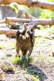 Egyptian vulture resting on grass Royalty Free Stock Photo