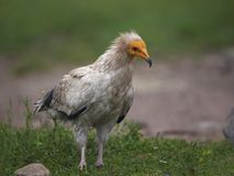 Egyptian vulture Neophron percnopterus stock image