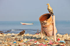 Egyptian vulture on rubbish-bin Royalty Free Stock Photography