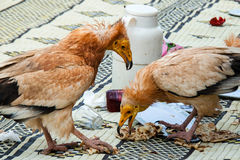 Egyptian Vulture, scavenging Royalty Free Stock Photos
