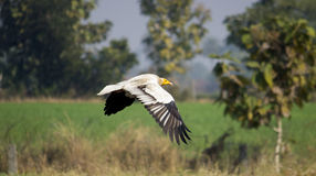 Egyptian-Vulture. Shot at taken at near indore Stock Photos