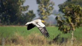 Egyptian-Vulture Stock Photos
