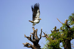 Egyptian-Vulture. Shot taken at near indore zoo Stock Images
