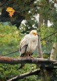 Egyptian vulture Royalty Free Stock Photos