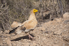 Egyptian Vulture. Socotra island Royalty Free Stock Images